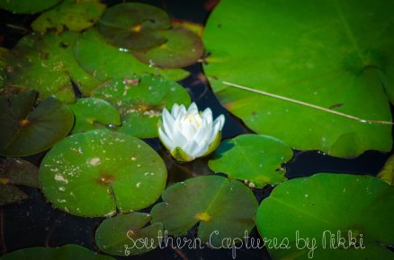 lily pad with lily